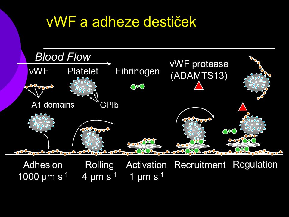 vWF a adheze destiček Rolling 4 µm s -1 vWFPlateletFibrinogen Blood Flow Recruitment Activation 1 µm s -1 Regulation vWF protease (ADAMTS13) GPIb A1 domains Adhesion 1000 µm s -1