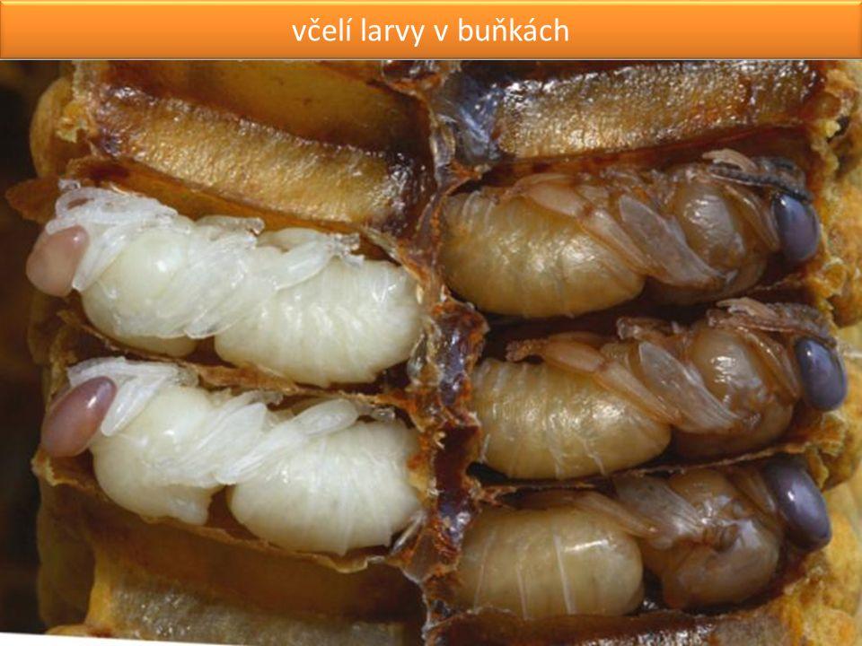včelí larvy v buňkách