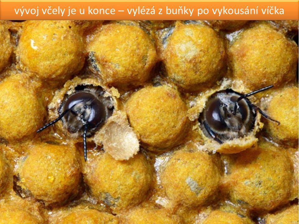 vývoj včely je u konce – vylézá z buňky po vykousání víčka