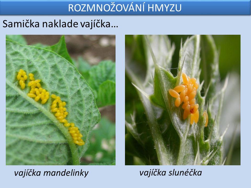 ROZMNOŽOVÁNÍ HMYZU …z vajíček se vylíhnou larvy, živí se a stále zvětšují… larva mandelinky larva slunéčka
