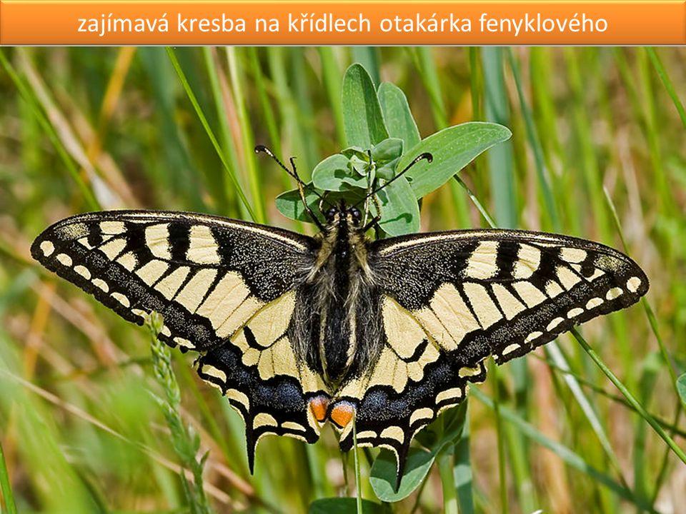 larva nočního motýla lišaje smrtihlava může mít až 10 cm