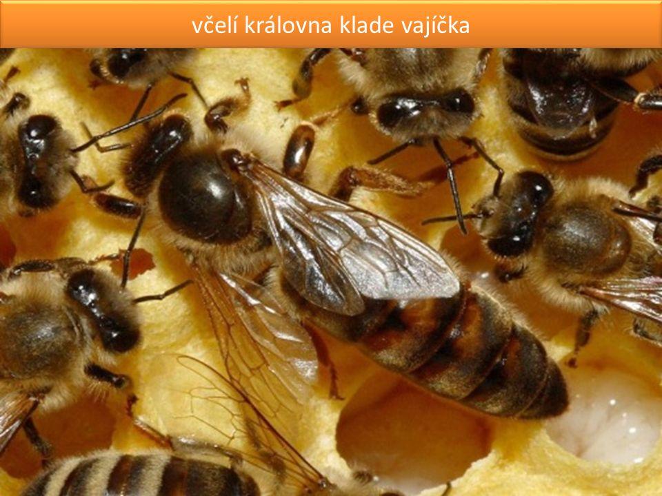 včelí královna klade vajíčka