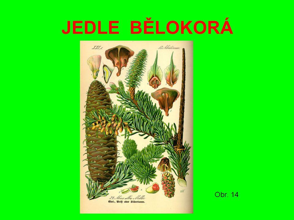 JEDLE BĚLOKORÁ Obr. 14
