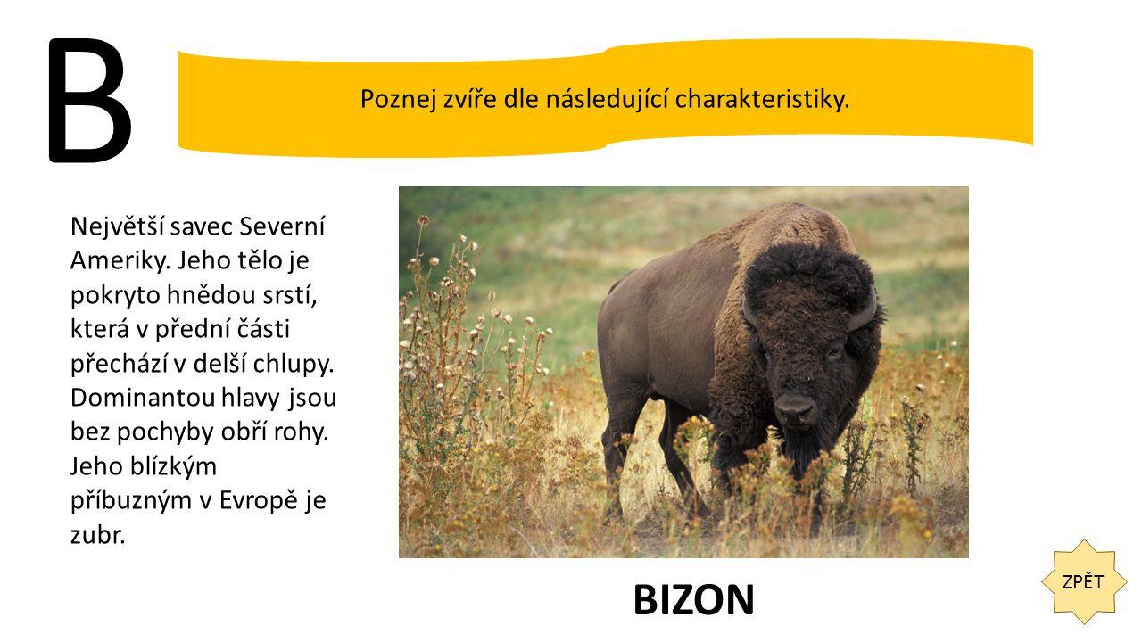 B ZPĚT Poznej zvíře dle následující charakteristiky. Největší savec Severní Ameriky. Jeho tělo je pokryto hnědou srstí, která v přední části přechází