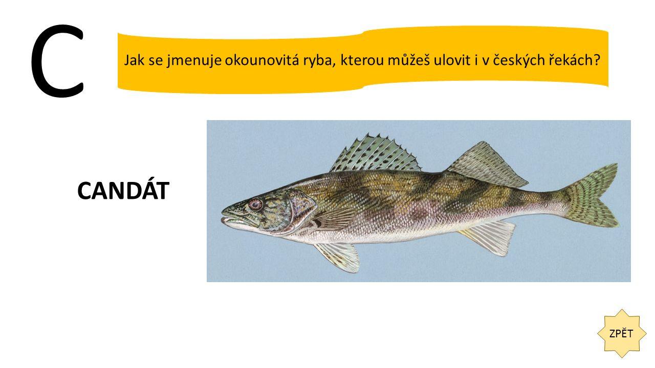 C ZPĚT Jak se jmenuje okounovitá ryba, kterou můžeš ulovit i v českých řekách? CANDÁT