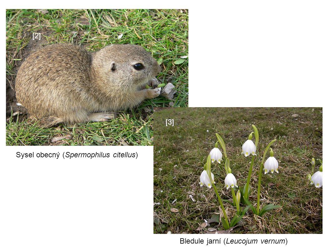 [2][2] Sysel obecný (Spermophilus citellus) [3][3] Bledule jarní (Leucojum vernum)