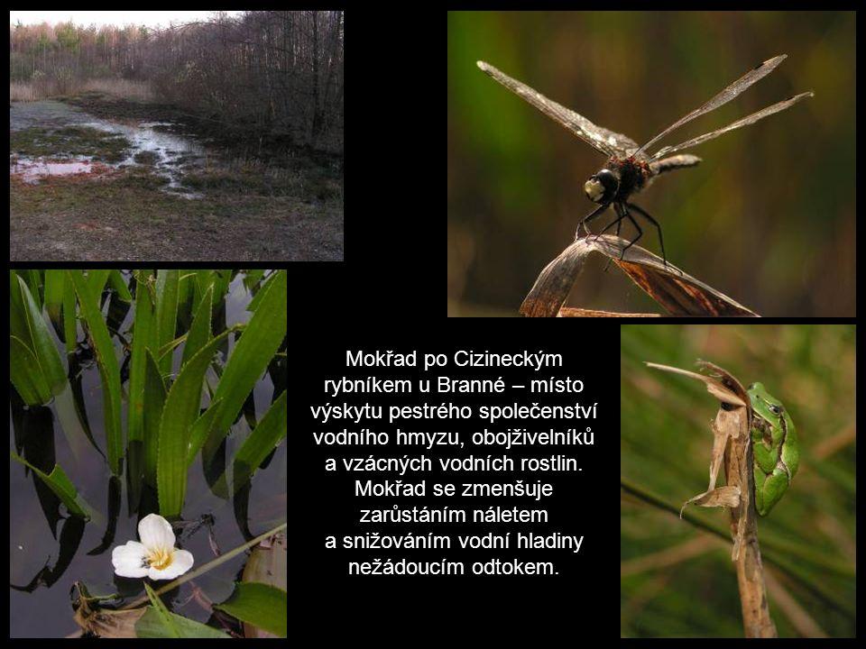 Mokřad po Cizineckým rybníkem u Branné – místo výskytu pestrého společenství vodního hmyzu, obojživelníků a vzácných vodních rostlin.