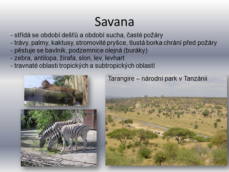 Savana Tarangire – národní park v Tanzánii - střídá se období dešťů a období sucha, časté požáry - trávy, palmy, kaktusy, stromovité pryšce, tlustá borka chrání před požáry - pěstuje se bavlník, podzemnice olejná (buráky) - zebra, antilopa, žirafa, slon, lev, levhart - travnaté oblasti tropických a subtropických oblastí