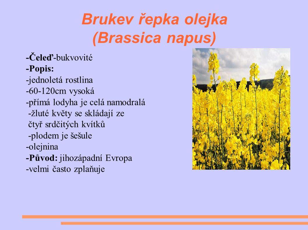 Brukev řepka olejka (Brassica napus) -Čeleď-bukvovité -Popis: -jednoletá rostlina -60-120cm vysoká -přímá lodyha je celá namodralá -žluté květy se skládají ze čtyř srdčitých kvítků -plodem je šešule -olejnina -Původ: jihozápadní Evropa -velmi často zplaňuje