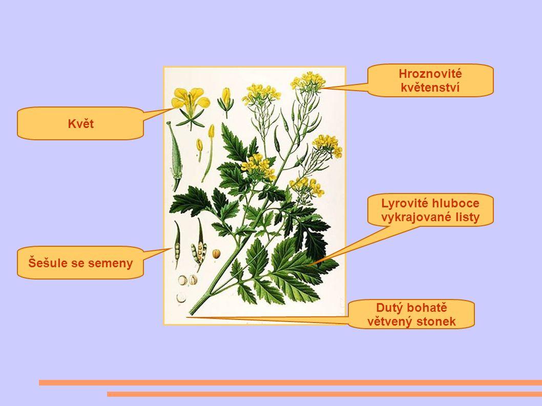 Lyrovité hluboce vykrajované listy Hroznovité květenství Dutý bohatě větvený stonek Šešule se semeny Květ