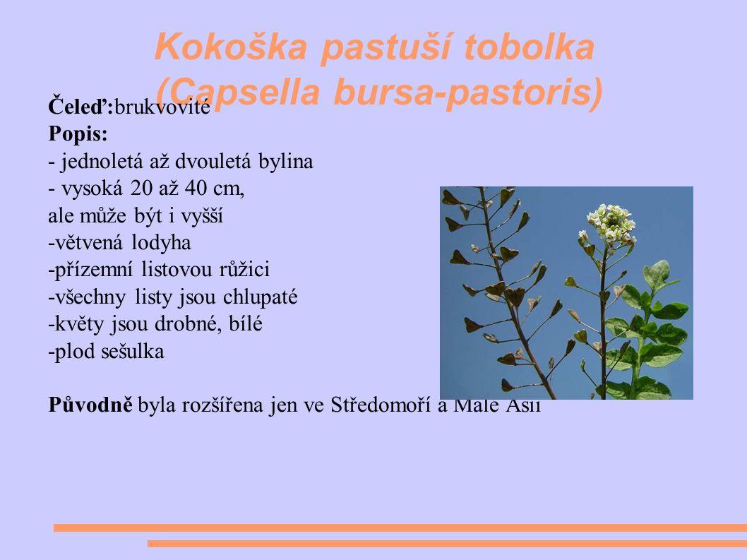 Kokoška pastuší tobolka (Capsella bursa-pastoris) Čeleď:brukvovité Popis: - jednoletá až dvouletá bylina - vysoká 20 až 40 cm, ale může být i vyšší -větvená lodyha -přízemní listovou růžici -všechny listy jsou chlupaté -květy jsou drobné, bílé -plod sešulka Původně byla rozšířena jen ve Středomoří a Malé Asii