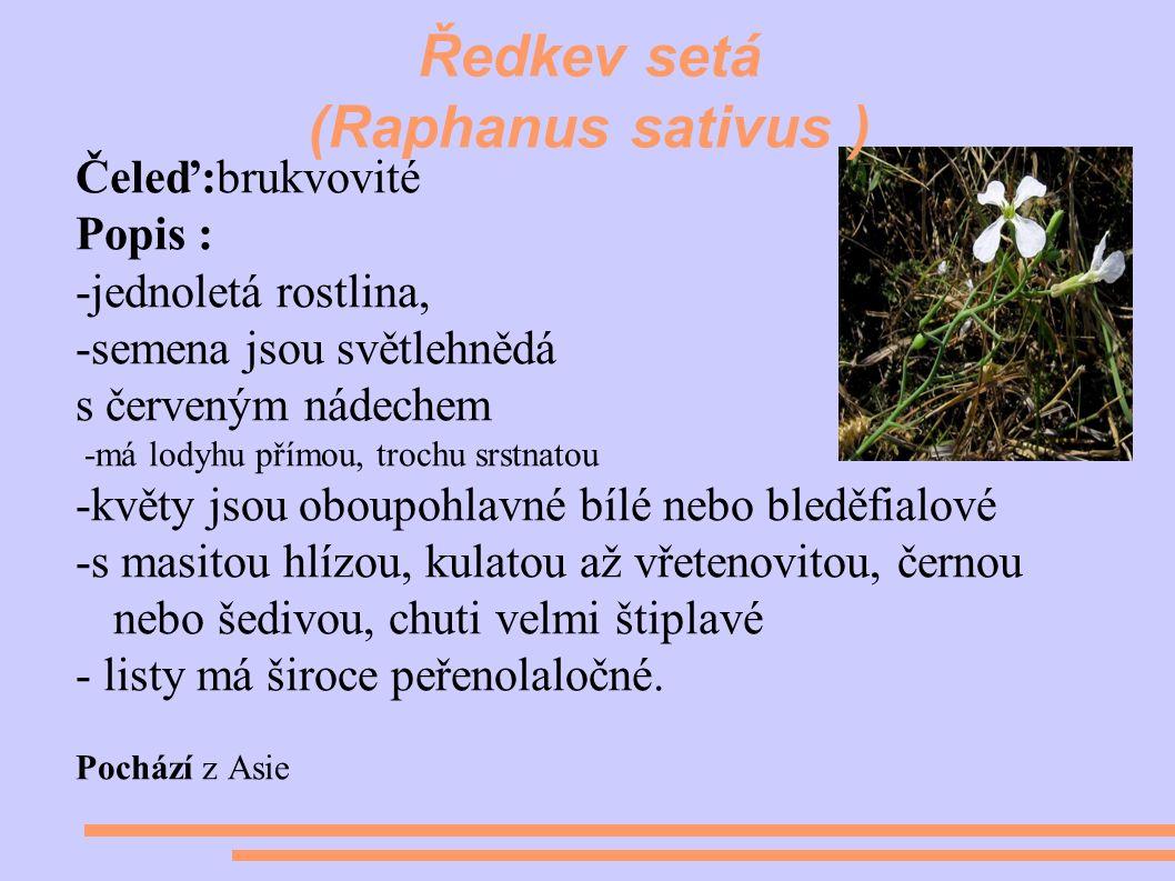 Ředkev setá (Raphanus sativus ) Čeleď:brukvovité Popis : -jednoletá rostlina, -semena jsou světlehnědá s červeným nádechem -má lodyhu přímou, trochu srstnatou -květy jsou oboupohlavné bílé nebo bleděfialové -s masitou hlízou, kulatou až vřetenovitou, černou nebo šedivou, chuti velmi štiplavé - listy má široce peřenolaločné.