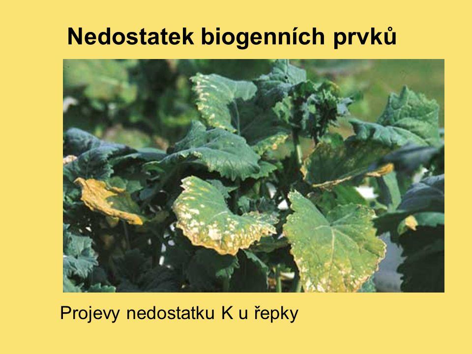 Nedostatek biogenních prvků Projevy nedostatku K u řepky