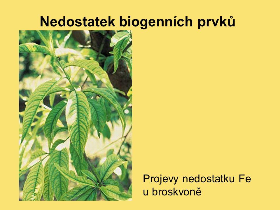Nedostatek biogenních prvků Projevy nedostatku Fe u broskvoně