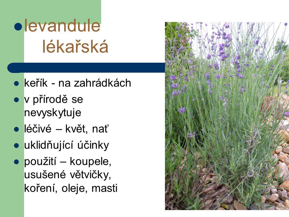 levandule lékařská keřík - na zahrádkách v přírodě se nevyskytuje léčivé – květ, nať uklidňující účinky použití – koupele, usušené větvičky, koření, oleje, masti