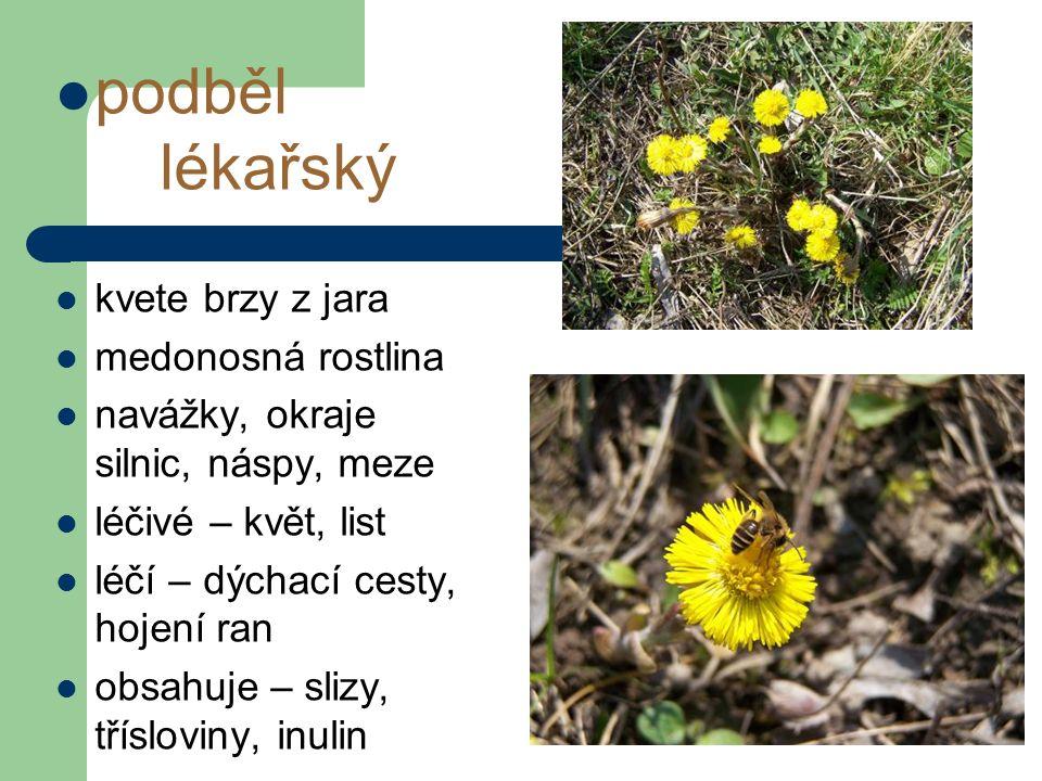 podběl lékařský kvete brzy z jara medonosná rostlina navážky, okraje silnic, náspy, meze léčivé – květ, list léčí – dýchací cesty, hojení ran obsahuje – slizy, třísloviny, inulin