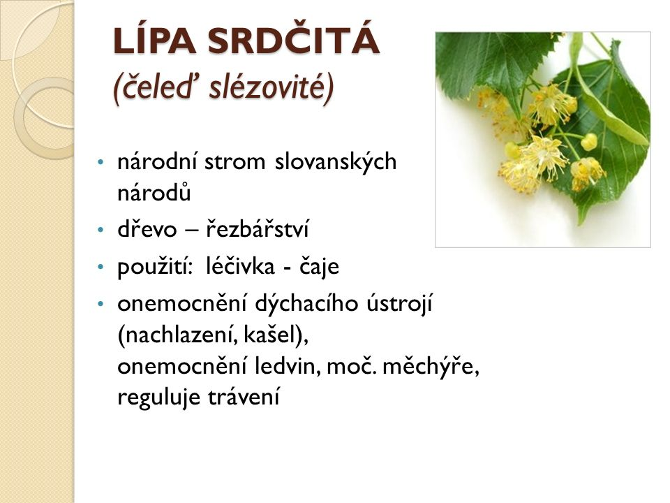 LÍPA SRDČITÁ (čeleď slézovité) národní strom slovanských národů dřevo – řezbářství použití: léčivka - čaje onemocnění dýchacího ústrojí (nachlazení, k