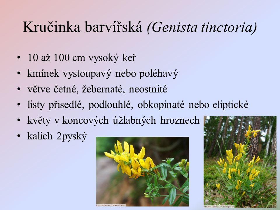 Kručinka barvířská (Genista tinctoria) 10 až 100 cm vysoký keř kmínek vystoupavý nebo poléhavý větve četné, žebernaté, neostnité listy přisedlé, podlouhlé, obkopinaté nebo eliptické květy v koncových úžlabných hroznech kalich 2pyský