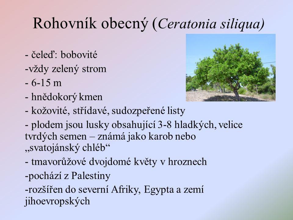 """Rohovník obecný ( Ceratonia siliqua) - čeleď: bobovité -vždy zelený strom - 6-15 m - hnědokorý kmen - kožovité, střídavé, sudozpeřené listy - plodem jsou lusky obsahující 3-8 hladkých, velice tvrdých semen – známá jako karob nebo """"svatojánský chléb - tmavorůžové dvojdomé květy v hroznech -pochází z Palestiny -rozšířen do severní Afriky, Egypta a zemí jihoevropských"""