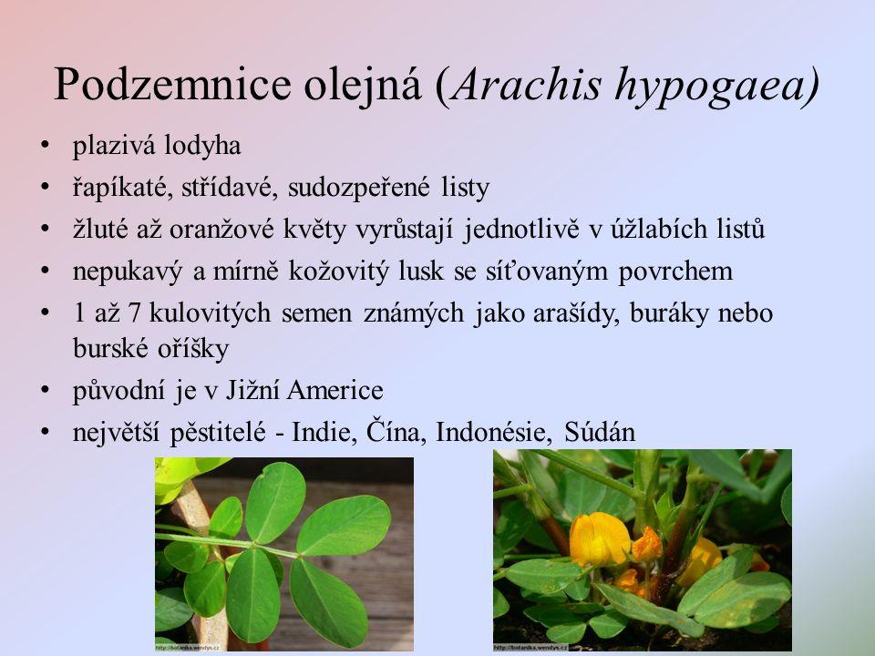 Podzemnice olejná (Arachis hypogaea) plazivá lodyha řapíkaté, střídavé, sudozpeřené listy žluté až oranžové květy vyrůstají jednotlivě v úžlabích listů nepukavý a mírně kožovitý lusk se síťovaným povrchem 1 až 7 kulovitých semen známých jako arašídy, buráky nebo burské oříšky původní je v Jižní Americe největší pěstitelé - Indie, Čína, Indonésie, Súdán