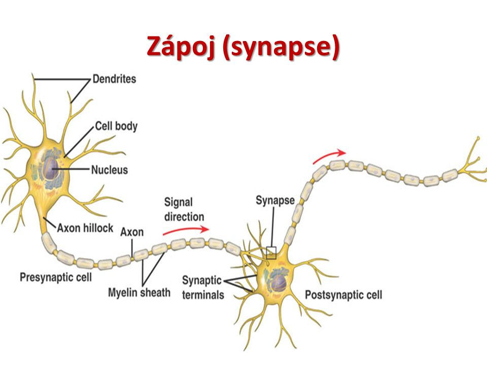 Zápoj (synapse)