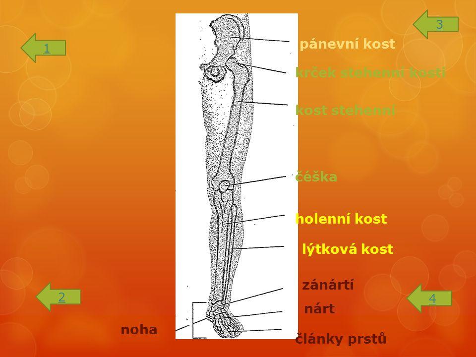 pánevní kost krček stehenní kosti kost stehenní čéška holenní kost lýtková kost zánártí nárt články prstů noha 1 2 3 4