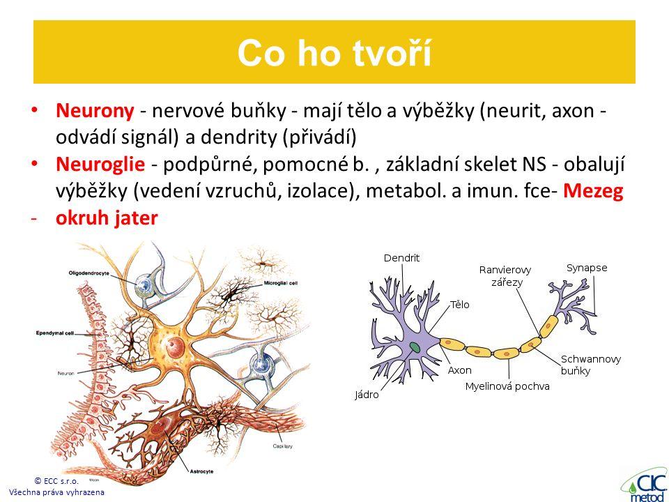 Co ho tvoří Neurony - nervové buňky - mají tělo a výběžky (neurit, axon - odvádí signál) a dendrity (přivádí) Neuroglie - podpůrné, pomocné b., základní skelet NS - obalují výběžky (vedení vzruchů, izolace), metabol.