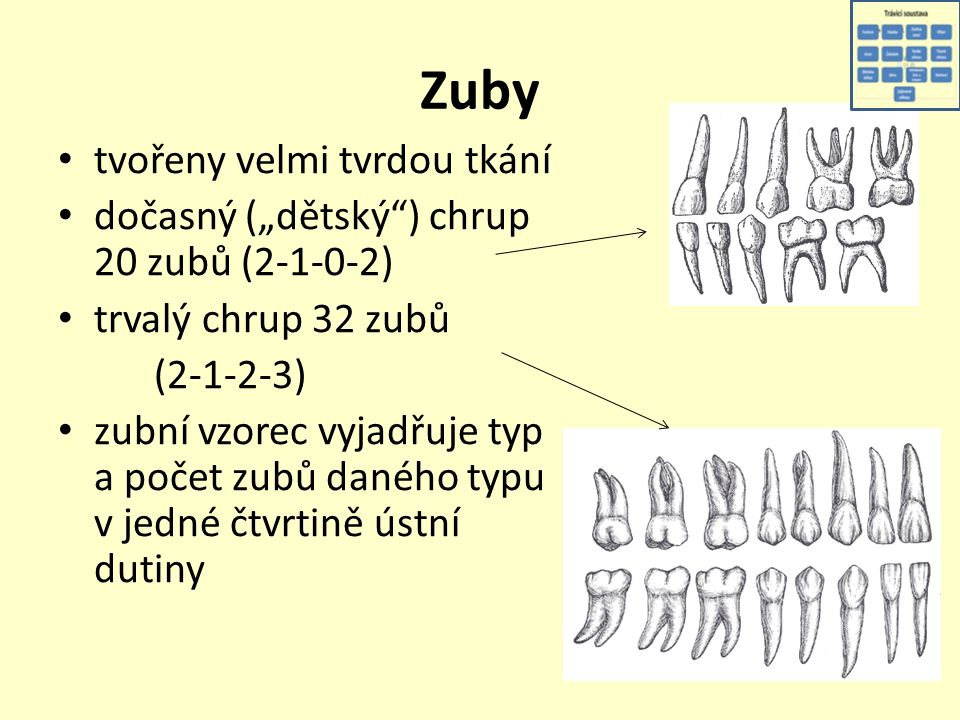 """Zuby tvořeny velmi tvrdou tkání dočasný (""""dětský ) chrup 20 zubů (2-1-0-2) trvalý chrup 32 zubů (2-1-2-3) zubní vzorec vyjadřuje typ a počet zubů daného typu v jedné čtvrtině ústní dutiny"""