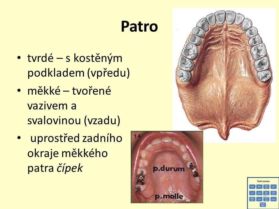 Zuby vně se rozdělují na korunku, krček a kořen na řezu: sklovina - email (kryje povrch korunky) zubovina - dentin (hlavní hmota zubu) cement (na krčku a kořeni, význam pro uchycení zubu v čelisti) zubní dřeň (nervy, cévy)