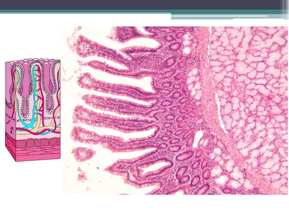 Trávení a vstřebávání: sacharidy přijímány ve formě polysacharidů (rostlinný škrob, živočišný glykogen), disacharidů (sacharóza, laktóza) a monosacharidů (glukóza, fruktóza) nestravitelné rostlinné polysacharidy (např.