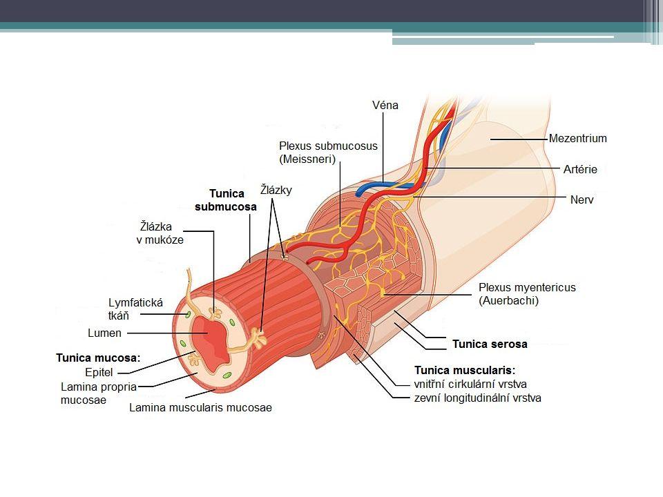 Dutina ústní příjem potravy a tekutin tvorba sousta mechanické rozmělnění promísení se slinami žvýkání (masseterový reflex) polykání reflexní vyvolání sekrece trávicích šťáv v dalších oddílech trávicí soustavy další funkce nesouvisející s trávením – artikulace, nespecifická imunita aj.