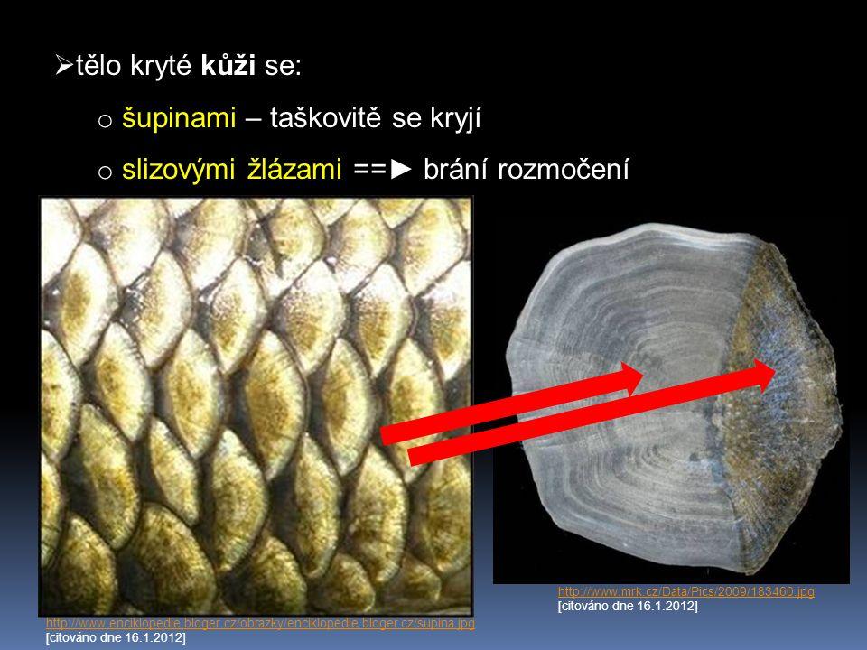  kostěná kostra X paryby chrupavčitá  dokonalá lebka o součástí jsou skřele = žaberní víčka http://t0.gstatic.com/images?q=tbn:ANd9GcSOeeRUKaBHRF80x49kH8MKl_1dQvVeRKXgIE8_dWVklmqyoW3I4Ahttp://t0.gstatic.com/images?q=tbn:ANd9GcSOeeRUKaBHRF80x49kH8MKl_1dQvVeRKXgIE8_dWVklmqyoW3I4A [citováno dne 16.1.2012] http://www.momrs-kunovice.cz/foto/kapr2002V.jpghttp://www.momrs-kunovice.cz/foto/kapr2002V.jpg [citováno dne 16.1.2012]