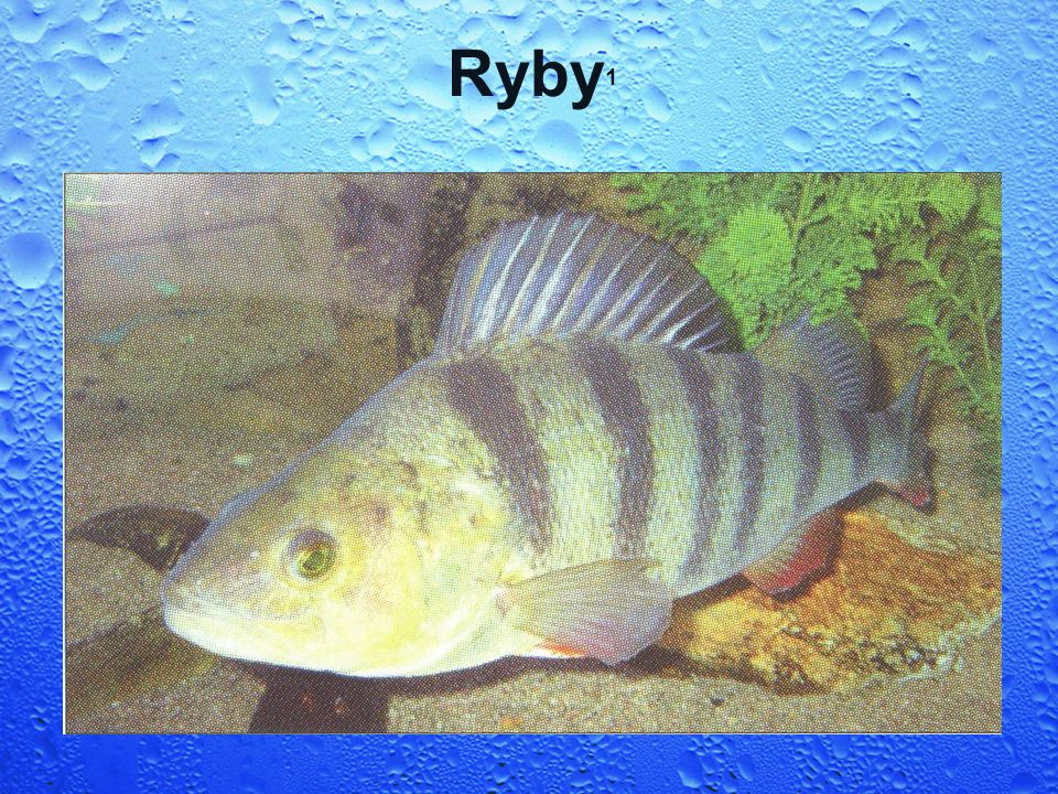 Ryby 1
