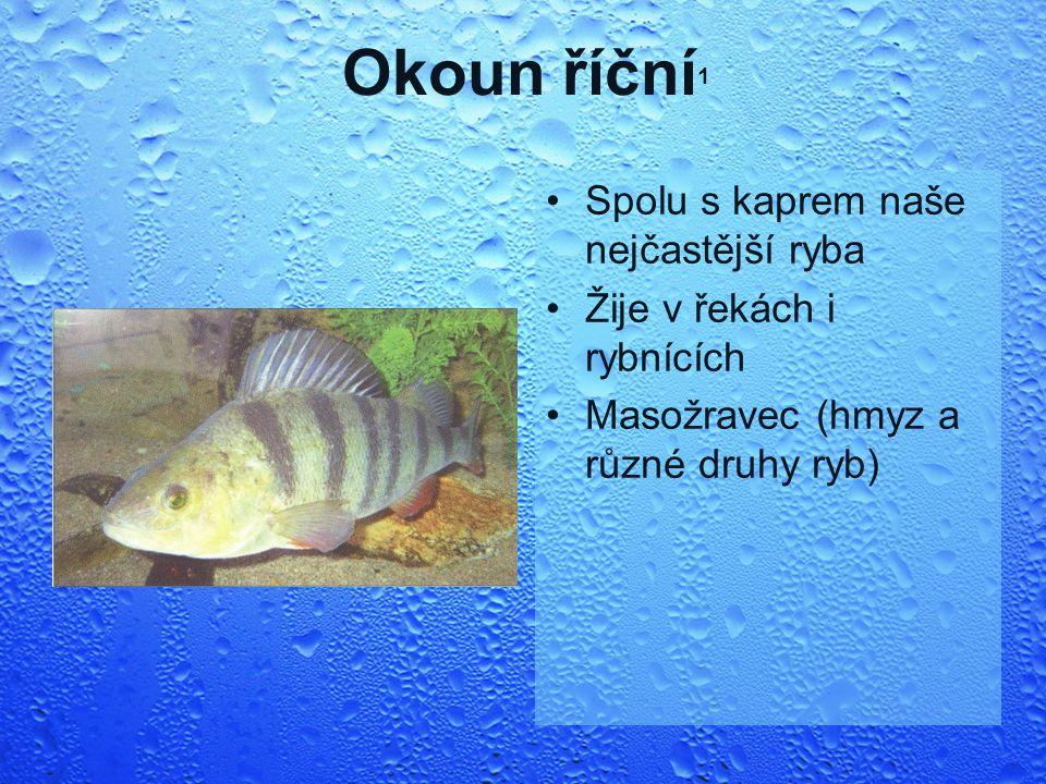 Okoun říční 1 Spolu s kaprem naše nejčastější ryba Žije v řekách i rybnících Masožravec (hmyz a různé druhy ryb)