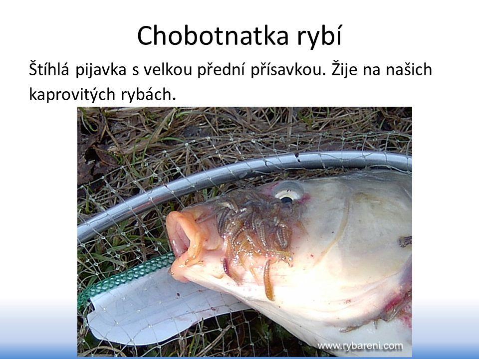 Chobotnatka rybí Štíhlá pijavka s velkou přední přísavkou. Žije na našich kaprovitých rybách.