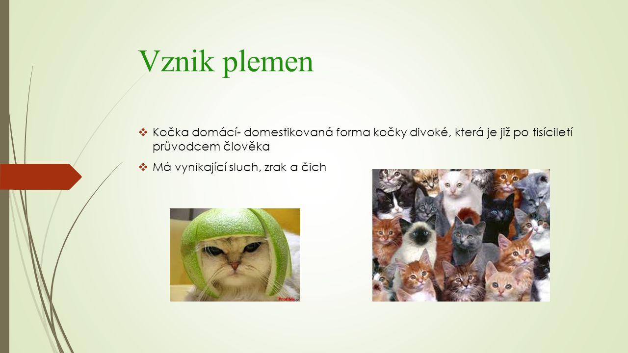 Vznik plemen  Kočka domácí- domestikovaná forma kočky divoké, která je již po tisíciletí průvodcem člověka  Má vynikající sluch, zrak a čich