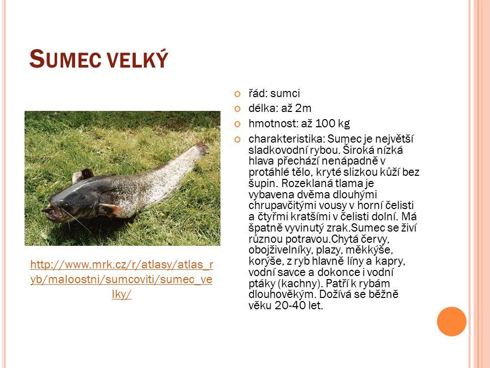 S UMEC VELKÝ řád: sumci délka: až 2m hmotnost: až 100 kg charakteristika: Sumec je největší sladkovodní rybou.