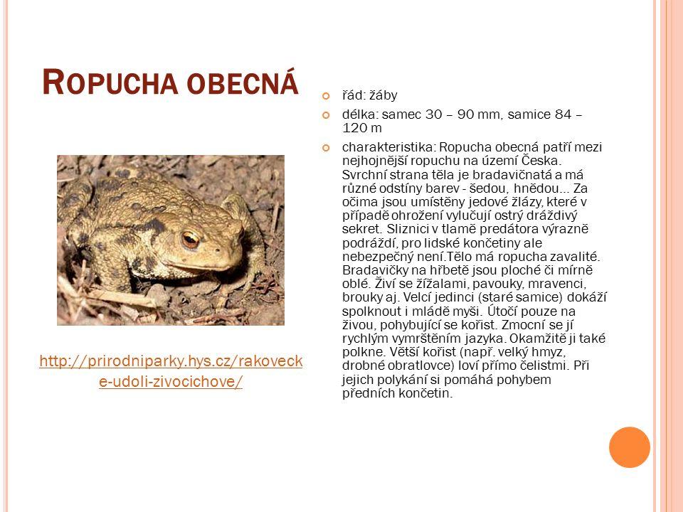 R OPUCHA OBECNÁ řád: žáby délka: samec 30 – 90 mm, samice 84 – 120 m charakteristika: Ropucha obecná patří mezi nejhojnější ropuchu na území Česka.