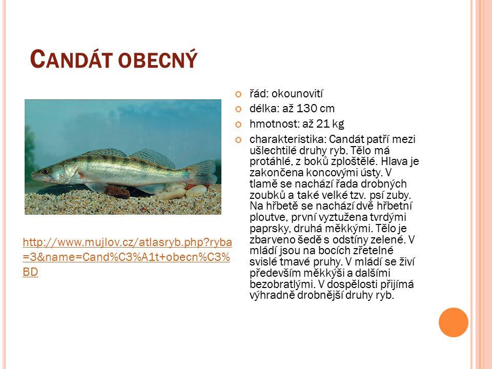 C ANDÁT OBECNÝ řád: okounovití délka: až 130 cm hmotnost: až 21 kg charakteristika: Candát patří mezi ušlechtilé druhy ryb.