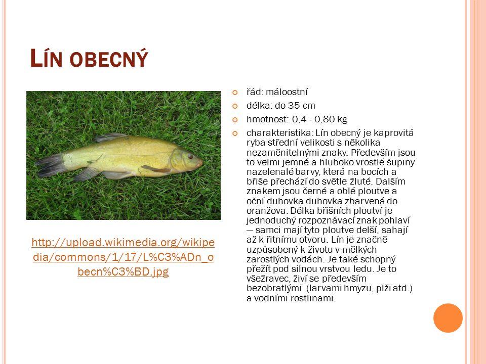 L ÍN OBECNÝ řád: máloostní délka: do 35 cm hmotnost: 0,4 - 0,80 kg charakteristika: Lín obecný je kaprovitá ryba střední velikosti s několika nezaměnitelnými znaky.