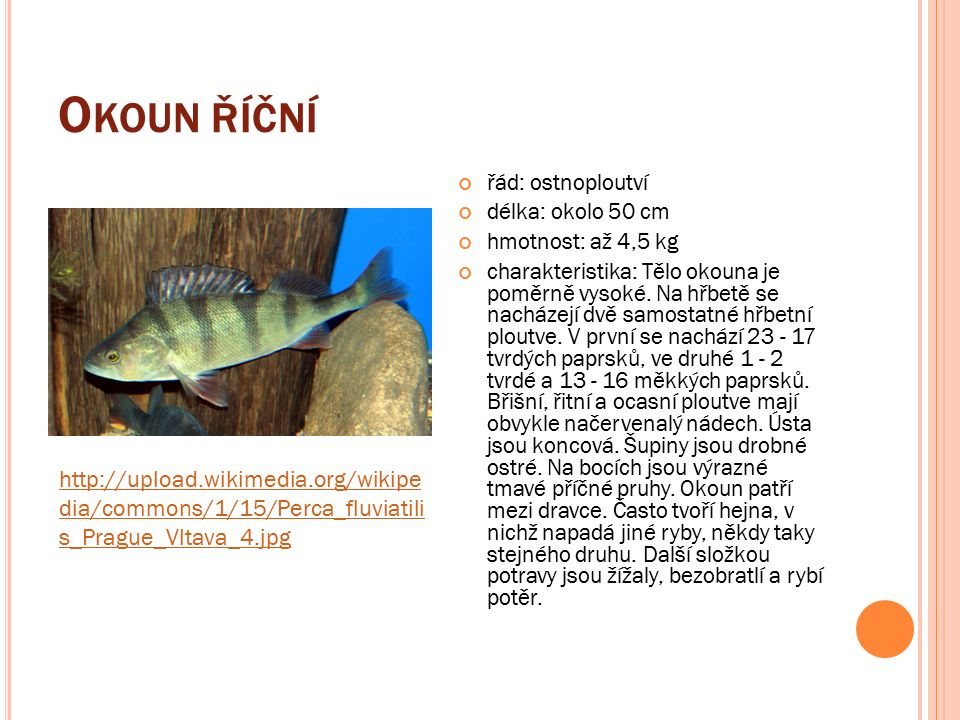O KOUN ŘÍČNÍ řád: ostnoploutví délka: okolo 50 cm hmotnost: až 4,5 kg charakteristika: Tělo okouna je poměrně vysoké.