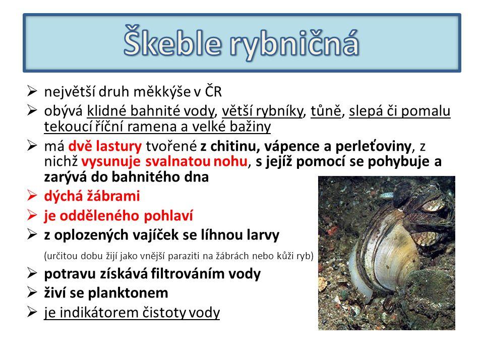  největší druh měkkýše v ČR  obývá klidné bahnité vody, větší rybníky, tůně, slepá či pomalu tekoucí říční ramena a velké bažiny  má dvě lastury tvořené z chitinu, vápence a perleťoviny, z nichž vysunuje svalnatou nohu, s jejíž pomocí se pohybuje a zarývá do bahnitého dna  dýchá žábrami  je odděleného pohlaví  z oplozených vajíček se líhnou larvy (určitou dobu žijí jako vnější paraziti na žábrách nebo kůži ryb)  potravu získává filtrováním vody  živí se planktonem  je indikátorem čistoty vody