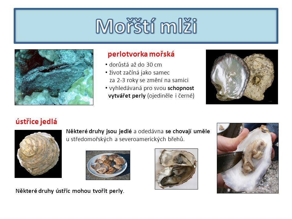 perlotvorka mořská dorůstá až do 30 cm život začíná jako samec za 2-3 roky se změní na samici vyhledávaná pro svou schopnost vytvářet perly (ojediněle i černé) Některé druhy jsou jedlé a odedávna se chovají uměle u středomořských a severoamerických břehů.