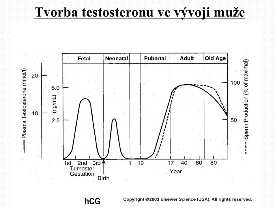 Tvorba testosteronu ve vývoji muže E, DHT, hCG