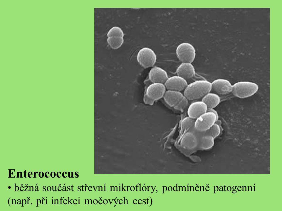 Enterococcus běžná součást střevní mikroflóry, podmíněně patogenní (např.