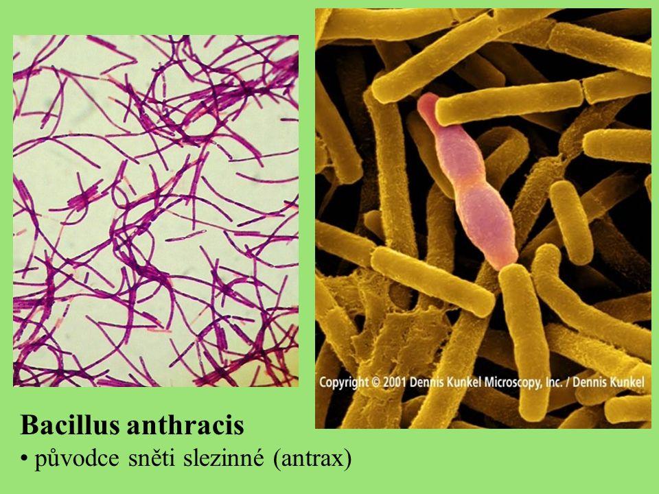 Bacillus anthracis původce sněti slezinné (antrax)
