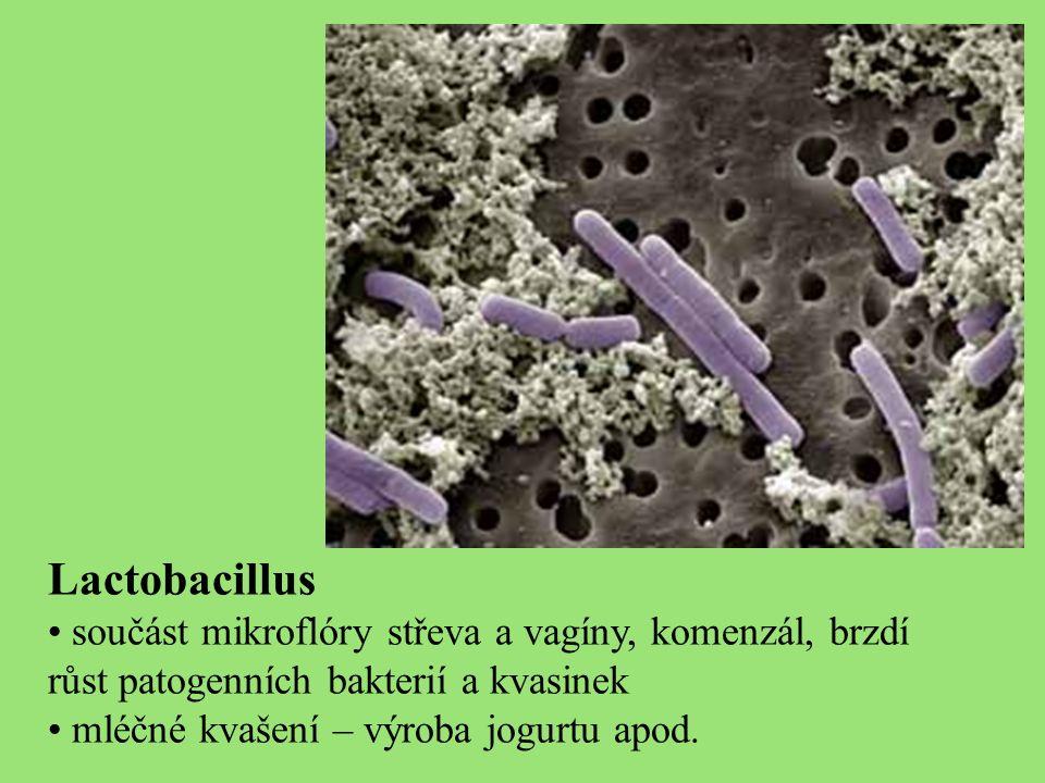 Lactobacillus součást mikroflóry střeva a vagíny, komenzál, brzdí růst patogenních bakterií a kvasinek mléčné kvašení – výroba jogurtu apod.