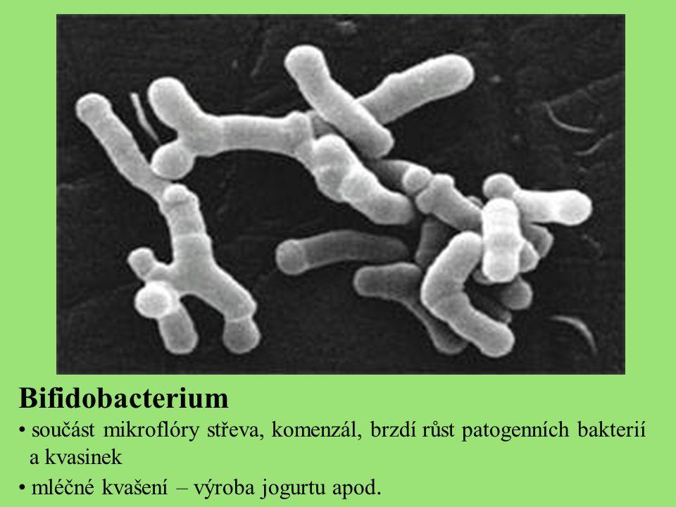 Bifidobacterium součást mikroflóry střeva, komenzál, brzdí růst patogenních bakterií a kvasinek mléčné kvašení – výroba jogurtu apod.