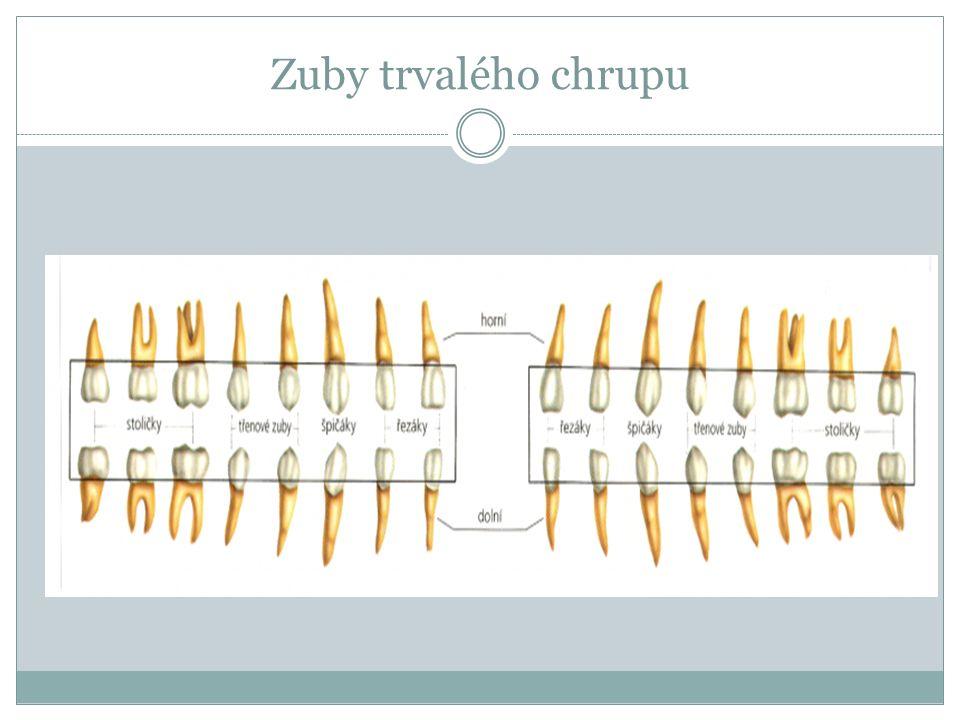 Zuby trvalého chrupu