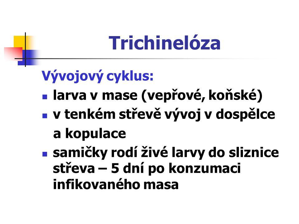 Trichinelóza Vývojový cyklus: larva v mase (vepřové, koňské) v tenkém střevě vývoj v dospělce a kopulace samičky rodí živé larvy do sliznice střeva – 5 dní po konzumaci infikovaného masa